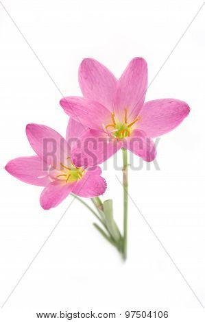 Two Pink Lily Isolated On A White Background. Zephyranthes Candida. Focus On Low Flower