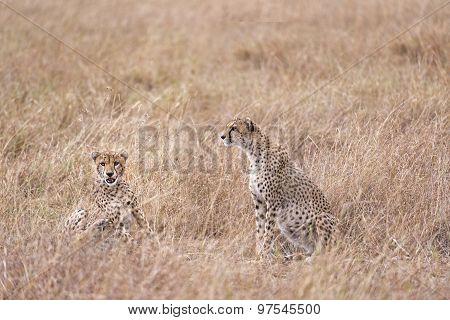 Cheetahs Resting In Tall Grass