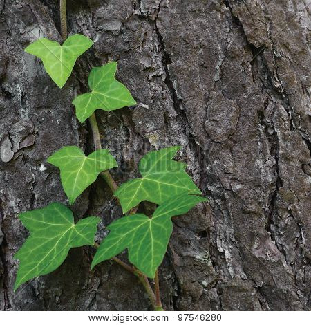 Climbing common Baltic ivy stem, hedera helix L. var. baltica, fresh new young evergreen creeper leaves, large detailed pine tree bark texture background, green wintergreen woody vine leaf macro closeup, textured copy space pattern detail poster