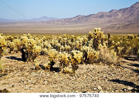 Beautiful Cholla Cactus Garden In Joshua Treer National Park In Afternoon Sun