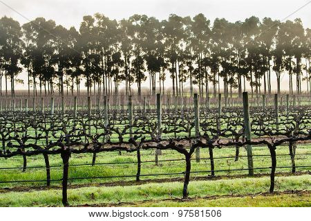Early Morning Vines