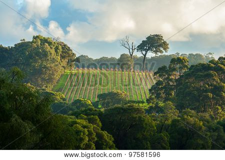 bright early morning light on winter vineyard surrounded by dense gumtree or eucalypt forest under cloudy sky poster