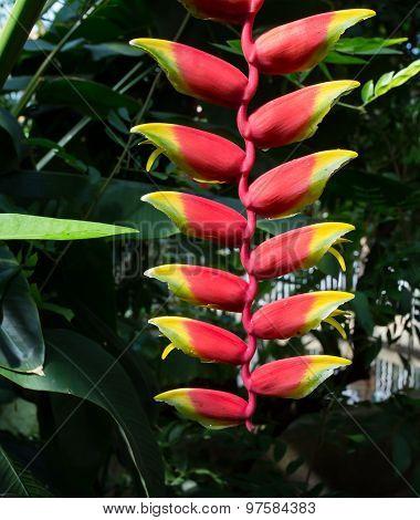 Tillandsia Dyeriana Flower Formation