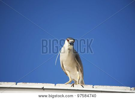 Black crowned night heron (Nycticorax nycticorax) on a clear sky background