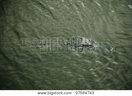 aligator resting on the river. Myakka River