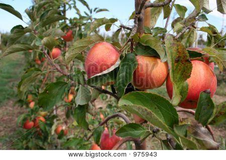 Three Sweet Apple