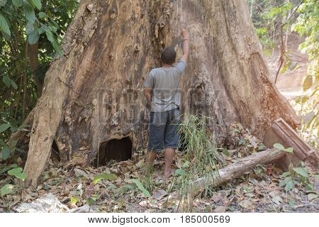Old big tree dead in forest boy Stand big tree dead background