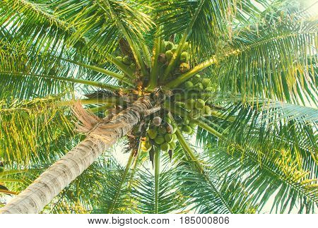 Green palm tree with coconuts. Coco palm top view from ground. Tropical tree toned photo. Natural backdrop for summer vacation holiday banner. Exotic nature poster template. Green palm leaves on sky