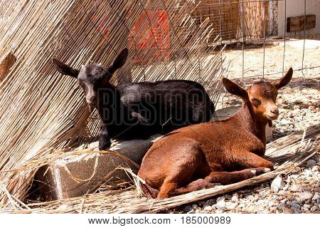 Goat. Two little goats. Black and brown.