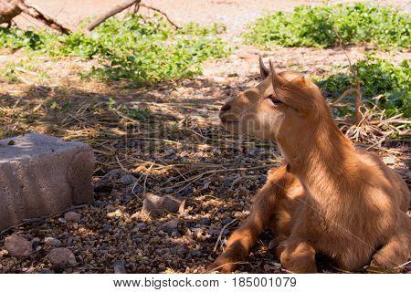 Goat. Beautiful little beige goat. Farm animal.