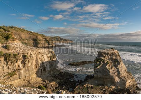Auckland New Zealand - March 2 2017: Overview of beige-brown rocks populated by gannet colony at Muriwai Beach. Tasman Sea as back under evening blue sky. Many breeding birds.