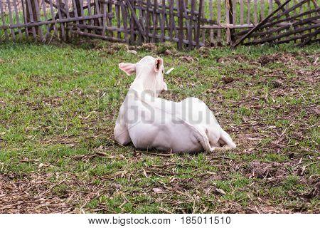 Young cow , Thai calf in farm