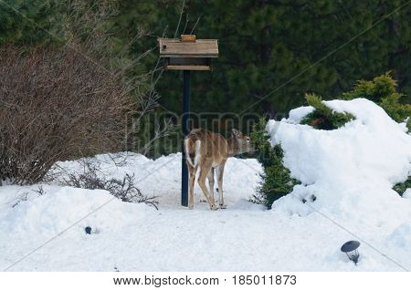 Whitetail Fawn standing by a a bird feeding station