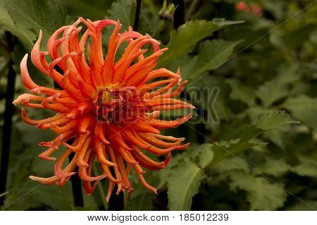 Orange Bed Head Daliha single flower after morning rain shower.