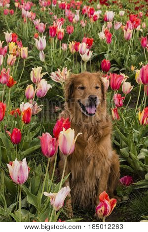 A Golden Retriever sitting in the middle of a blooming Tulip field.