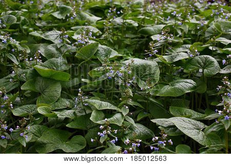 Brunnera macrophylla. Large green leaves and inflorescences with small blue flowers have formed continuous thickets.