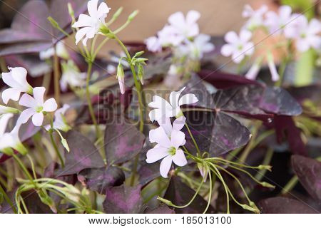 Indian park white flowers. purple leaves of oxalis triangularis
