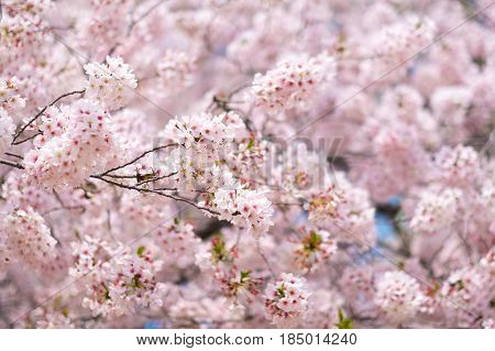 Spring Cherry blossoms pink flower in Japan