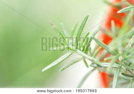 Rosemary plant in the flowerpot , Rosemary