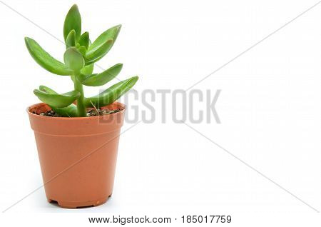 Sedum succulent plant with green fleshy leaves isolated on white