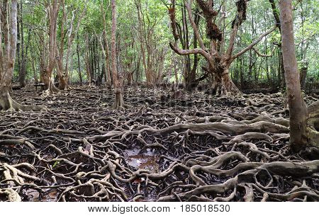 Amazing Tree Roots in the Mangrove Forest of Trat Province, Thailand