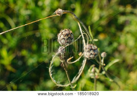 Buds of Centaurea Scabiosa are cobwebbed close-up. An interesting composition of flowers like a natural dreamcatcher.
