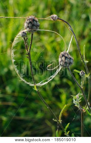 Buds of Centaurea Scabiosa are cobwebbed close-up. An interesting composition of flowers like a natural dreamcatcher. Vertical photo.