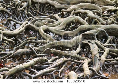 Incredible Mangrove Forest Tree Roots, Trat Province of Thailand