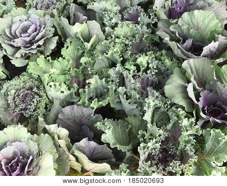 Pattern of ornamental cut kale or ornamental leaved background Kale(Brassica oleracea var.acephala)