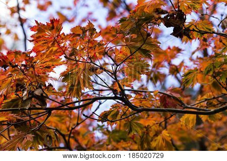 Fall Autumn Japanese Maple Branches leaves. Red orange yellow earthy colors