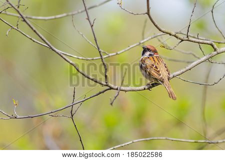 An Eurasian tree sparrow (passer montanus) is perched on a branch in spring