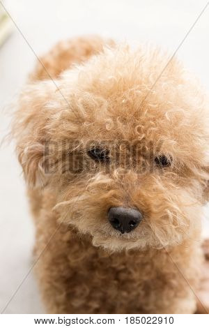 Cute toy poodle with brown curly fur