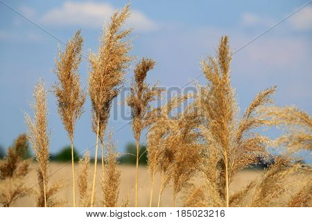 common reed phragmites australis against blue sky
