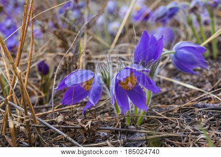 Beautiful blooming spring flowers. Natural blurred background. (Pasque Flowers - Pulsatilla). Seasonal photo of spring and nature
