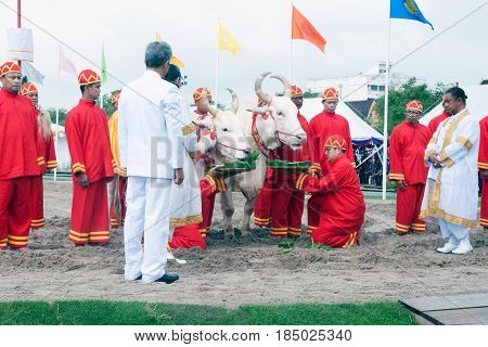 BANGKOK, THAILAND - MAY 13,2015 : Cows are eating food to predict attend the ceremony -Perform for an auspicious beginning for planting season on the Royal Plowing Ceremony in Bangkok city,Middle of Thailand.