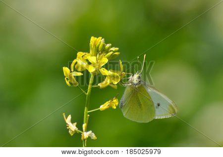 Small White butterfly, Pieris rapae, On wildflower. White butterfly on yellow flower in meadow