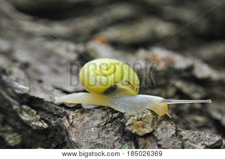 Little yellow snail crawling on willow tree by the river. Snail in nature on tree