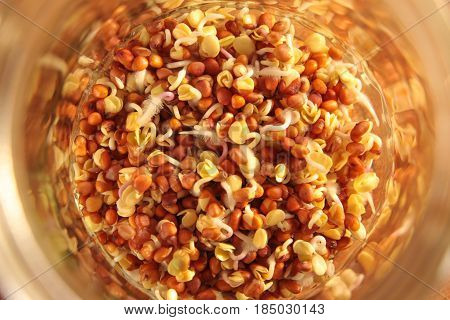 Radish Seeds Begin To Sprout In A Sprouting Jar