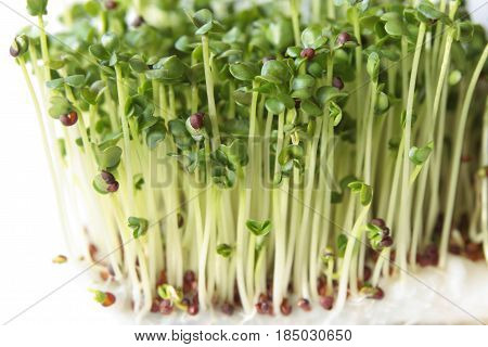 Young green broccoli sprouts grown for about a week
