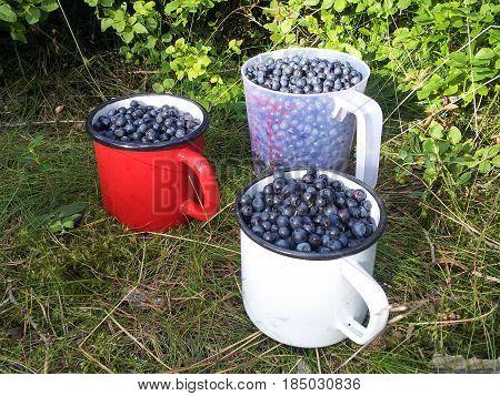 Bilberries In Enamel Mugs On The Forest Floor