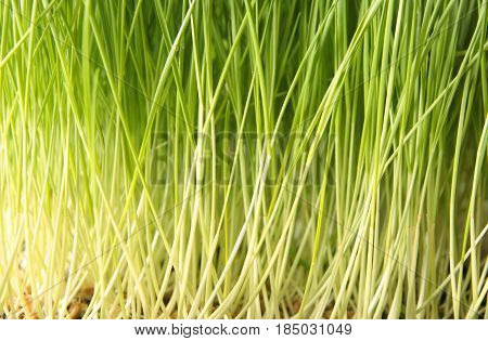 Young wheatgrass grown in soil for 1 week