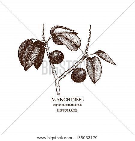 Hand drawn sketch of poisonous plant - Hippomane mancinella. One of the most poisonous trees in the world.