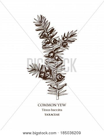 Hand drawn sketch of poisonous plant - Taxus baccata.