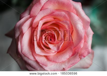 Beautiful Pink Rose Close ??. Beautiful Pink Rose On Colorful Ba