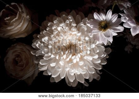 Magnificent White Chrysanthemum On A Black Background. White Chrysanthemum Isolated On Black Backgro