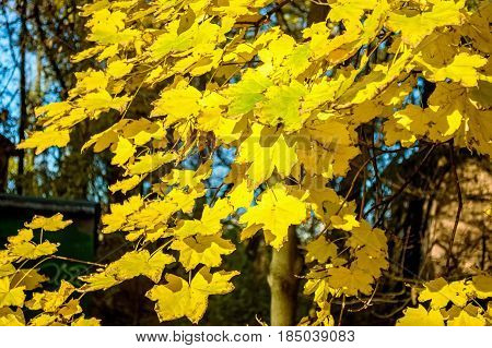 Close up yellow maple leaves in autumn