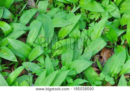Wild garlic ramson or bear garlic growing in forest in spring