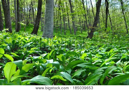 Wild garlic or bear garlic growing in forest in spring. Ramson field under a mountain
