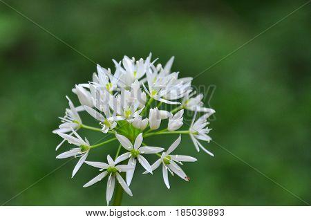 Wild garlic or bear garlic in bloom in forest in spring.