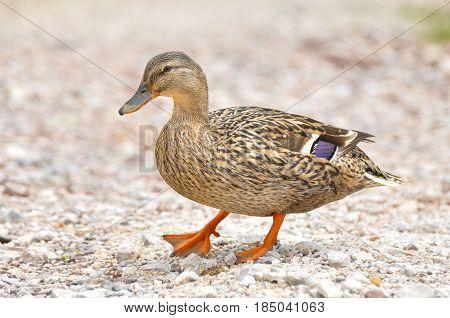 Female Mallard duck, mallard, eurasian wild duck, Anas platyrhynchos